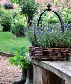 Lovely garden ideas...Lavender in a basket on the porch.....translate.