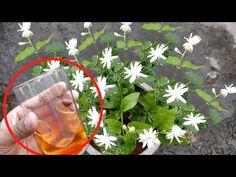 ऐसा करने से मोगरा/Jasmine पर आऐंगे इतने फ़ूल कि सारा मोहल्ला महक उठेगा - YouTube