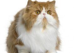 Curiosidades del gato persa