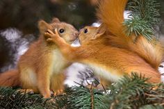 Pair of baby red squirrels appear to share a kiss