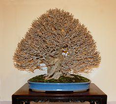 2010 Kokufu Prize winning twisted-trunk Pomegranate (Punica granatum 'Nejikan')