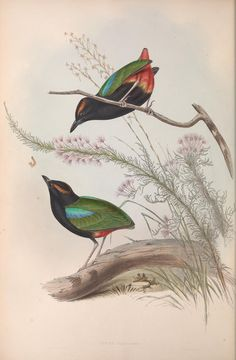 John Gould v.4 (1848) - The birds of Australia. - Biodiversity Heritage Library