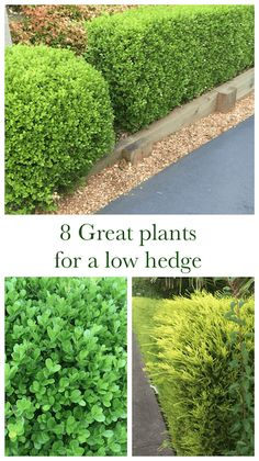 8 great plants for a low hedge |