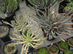 E.maleolens(群蛇丸)2鉢