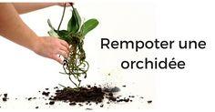 Votre orchidée fait grise mine. Découvrez comment rempoter une orchidée, ou phalaenopsis et lui permettre de fleurir à nouveau. Guide conseils en photos.