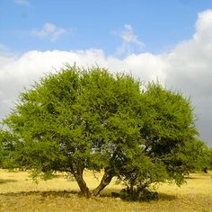 It takes the argan tree nearly 15 years to yield fruit but they can live up to 150 years or longer. Due to a drastic decline in the argan tree population, in 1998 UNESCO declared these trees a Biosphere Reserve,  improving the relationship between people and their environment.