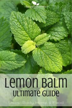 Uses for body, home, and for food. - by Scratch Mommy Lemon Balm Ultimate Guide! Uses for body, home, and for food. - by Scratch Mommy Healing Herbs, Medicinal Plants, Natural Medicine, Herbal Medicine, Lemon Balm Uses, Lemon Balm Recipes, Herb Recipes, Herbal Remedies, Natural Remedies