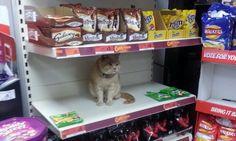 Questo gatto si rifiuta di lasciare il supermercato nonostante sia stato invitato a più riprese ad andarsene via. Lo si scorge tra gli scaffali in mezzo