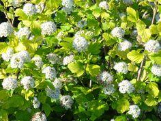 Physocarpus opulifolius Luteus - Gulbladig smällspirea