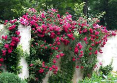 Rambling rose, fifth summer
