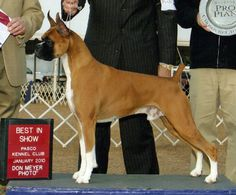 Beautiful Boxer dog at a Dog Show