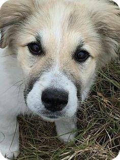 12/25/16 Bastrop, TX - Great Pyrenees/Anatolian Shepherd Mix. Meet Raymond, a puppy for adoption. http://www.adoptapet.com/pet/17279745-bastrop-texas-great-pyrenees-mix