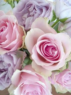 Pastel Pink and Purple ~ Roses