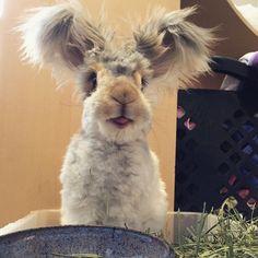 rabbit tongue ears