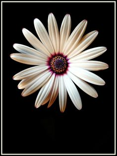 Photo My Darlin' Daisy by Jacquie W. on 500px. Enquiries for purchase are coming in & I am over the bloody moon!!!