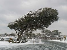 This a typical wind-worn live oak on a rare snowy day Feb.14, 2010, on Topsail Island at Soundside Park. —Dottie Peoples Edwards, Franklinton, Wake Electric