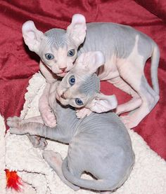 Elf Cats- <3 <3  I wish I could have a zoo!!