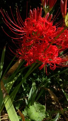 Red magic lily (Lycoris radiata). About one week later than usual to bloom. ヒガンバナ。例年に比べ一週間ばかり遅い。