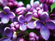 Lilacs Blossoming-https://www.facebook.com/pages/Mantisphotography/364979696868392?ref=hl #mantisphotography #lilacs #macro #photography #macrophotography #macroflower #pollen #spring #blossoms #purple #beautiful #closeup