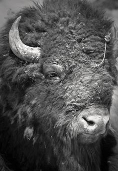 A large bull bison near the footpath enabled this detailed shot of the bison's massive head. Processed in black and white to emphasize the texture of the bison fur. North American Animals, American Bison, Highlands, Bison Tattoo, Buffalo Tattoo, Buffalo Painting, Musk Ox, All Gods Creatures, Wild Ones