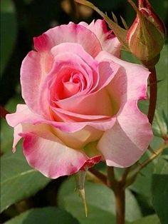 Beautiful Flowers Garden, Flowers Nature, Amazing Flowers, Love Flowers, Beautiful Roses, Colorful Flowers, Flor Iphone Wallpaper, Rose Flower Wallpaper, Australian Native Flowers