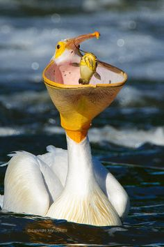 A white pelican with a catfish