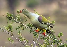 African green pigeon  #Kruger National Park