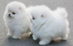Cute! Cute Teacup Puppies, Cute Puppies, Cute Dogs, Dogs And Puppies, Fluffy Puppies, Doggies, Baby Puppies, Chubby Puppies, Teacup Dogs