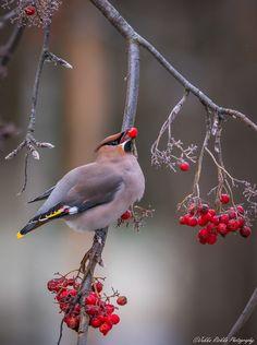 Viimeisiä viedään (5.11.19 Lapua). Kuvan saa halutessaan jakaa.  Bohemian waxwing (lat. Bombycilla garrulus) eating the last rowan berries of the season.