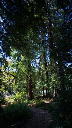 Regional Parks Botanic Garden celebrates its 75th anniversary tomorrow.  Our redwoods were planted the first year.