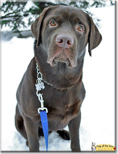 Read Bailey's story the Labrador Retriever from Finland and see his photos at Dog of the Day http://DogoftheDay.com/archive/2013/March/06.html .