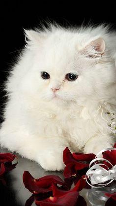 ❤️Cute White Kittens