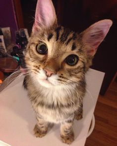 He always looks at me like this when Im getting ready by ThatHypeCat cats kitten catsonweb cute adorable funny sleepy animals nature kitty cutie ca