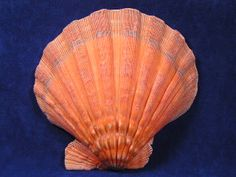 Lion's Paw sea shells are a strong heavy scallop shell. Orange lion paw seashells are normally found down to a depth of 100 feet on the surface of the bottom of the ocean, almost always a rocky bottom. Orange lions paw sea shells are found from the Carolina's to the Gulf of Mexico and down the Atlantic side of South America.