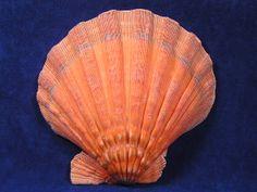 Nodipecten subnodosa. Orange Lion Paw Sea Shells are strong heavy scallop shells.West Mexico