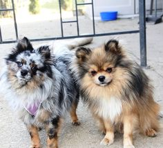 pomeranian Blue Merle Puppy Dog Puppies Dogs Pup