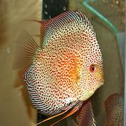 Discus Madness: Young Discus (2 to 2.5 inches)