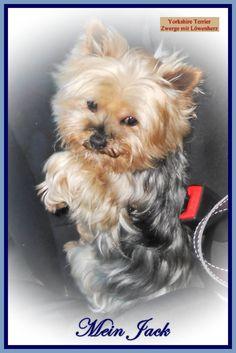 Carmen Bauer,   Yorkshire Terrier - Zwerge mit Löwenherz,   ISBN 978-3-843-5204-9  BoD, 2011, 92 Seiten Paperback  € 12,80 überall im Buchhandel