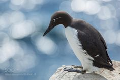 creatures-alive:  spectacled guillemot by Alessandro Castellano