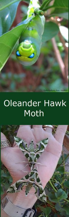 Oleander Hawk Moth. Used to see the clusters of tiny, light green eggs and the huge caterpillars (in their last instar) on our backyard oleander bushes in Hawaii. The adults are gorgeous.