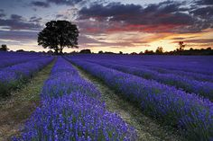 A beautiful summers evening at Mayfield Lavender Farm. Blue Roses, Lavender Roses, Lavander, Rose Flowers, Mayfield Lavender, Beautiful World, Beautiful Places, Paris Country, Natural Scenery