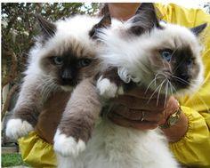 Big Ragdoll Kittens