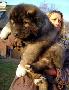 5 Dogs bigger than their owners, so big and fluffy :)
