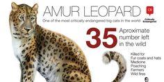 amur leopard population - Google Search