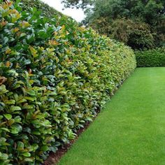 Laurel Etna hedge plants | Prunus laurocerasus