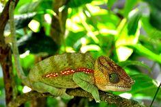 https://flic.kr/p/bjFb7X | Camaleón malgache. | Madagascar cuenta con una fauna única, el aislamiento de la isla durante 80 millones de años ha contribuido a la evolución de su flora y fauna, la mayoría de sus camaleones son endémicos y allí se encuentra el mas pequeño y el mas grande del mundo.  Explore.