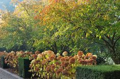 prunus accolade autumn - Hledat Googlem