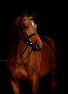 Holsteiner stallion.  #horses