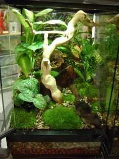 Planted Zoo Med Vivarium designed for baby crested geckos. DIY this terrarium with Hydroballs, Aquatic River Pebbles, Terrarium Moss, Sand Blasted Grapevine, and live plants of your choosing. Reptile House, Reptile Habitat, Reptile Room, Frog Habitat, Crested Gecko Vivarium, Crested Gecko Habitat, Gecko Terrarium, Reptile Terrarium, Tree Frog Terrarium