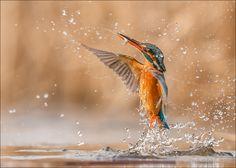 Kingfisher von Lutz Wilke  #animals #tiere #kingfisher